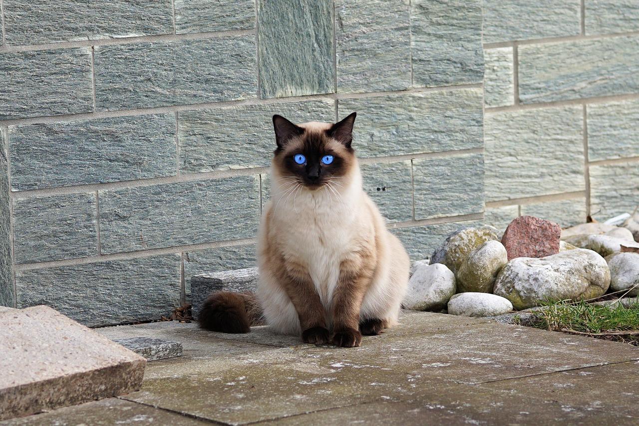 Gatto Siamese: Prezzo e Carattere